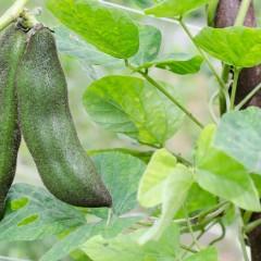 Un legume per curare il Parkinson