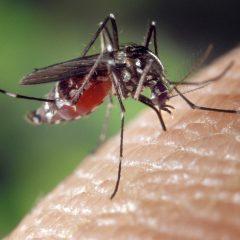 La zanzara tigre asiatica che porta l'artrite